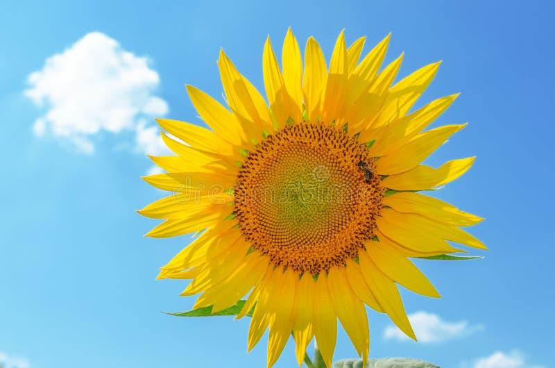 Zonnebloem met bijenclose-up op blauwe hemelachtergrond royalty-vrije stock afbeeldingen