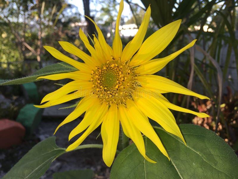 Zonnebloem met blauwe achtergrond stock foto's