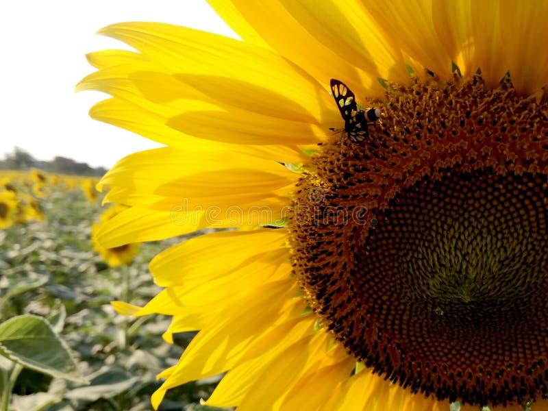 Zonnebloem met de vlinder royalty-vrije stock afbeeldingen