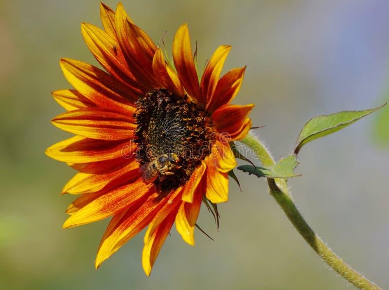 Zonnebloem met een honingsbij stock foto's