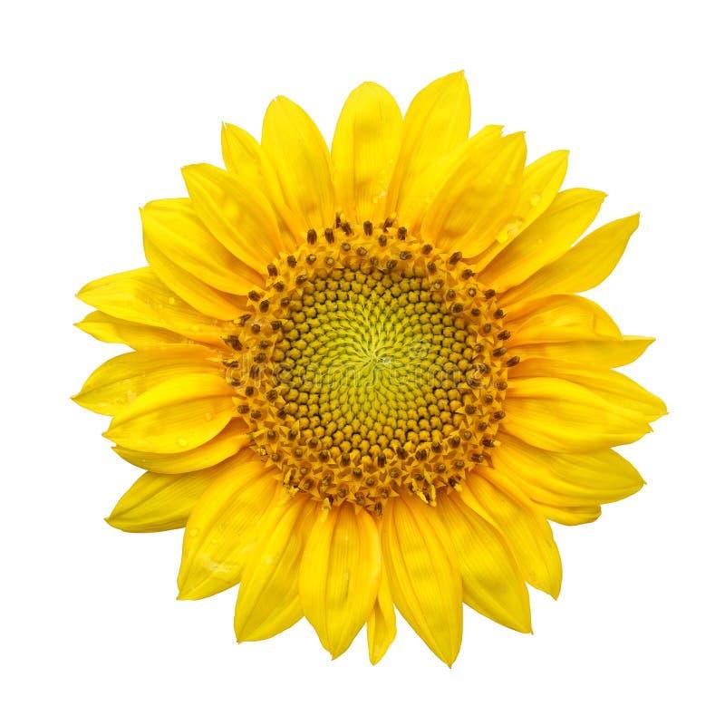 Zonnebloem met geïsoleerd op witte achtergrond stock afbeelding