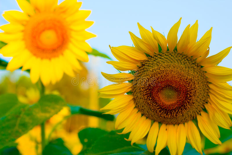Zonnebloem met heldere Vrolijke ochtendhemel, royalty-vrije stock afbeeldingen
