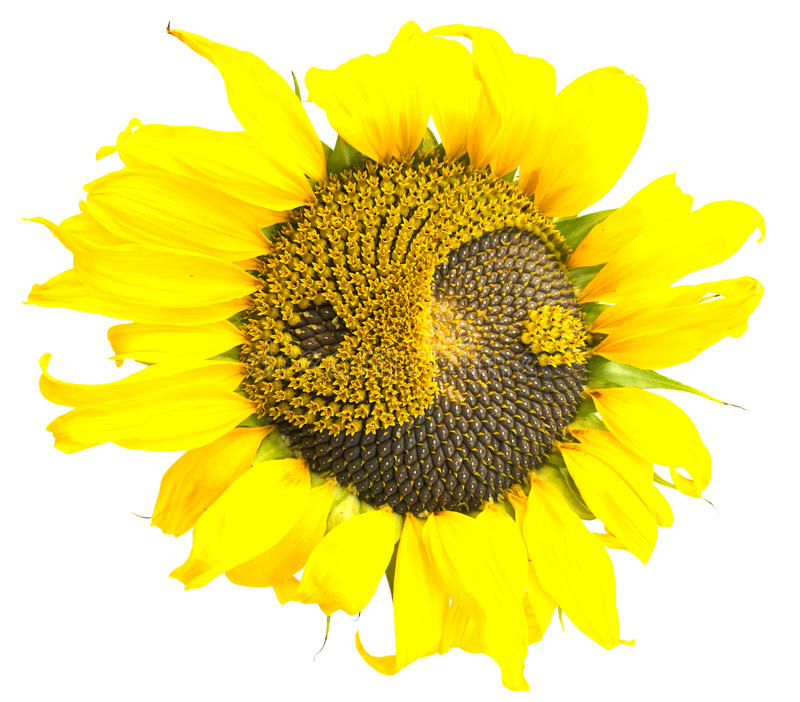 Zonnebloem met het symbool van yin-yang stock foto's