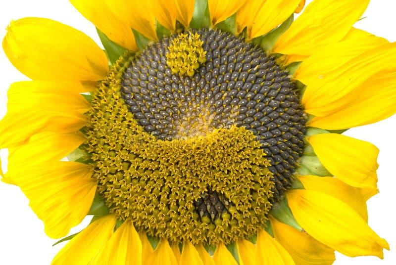 Zonnebloem met het symbool yin-yang royalty-vrije stock afbeelding