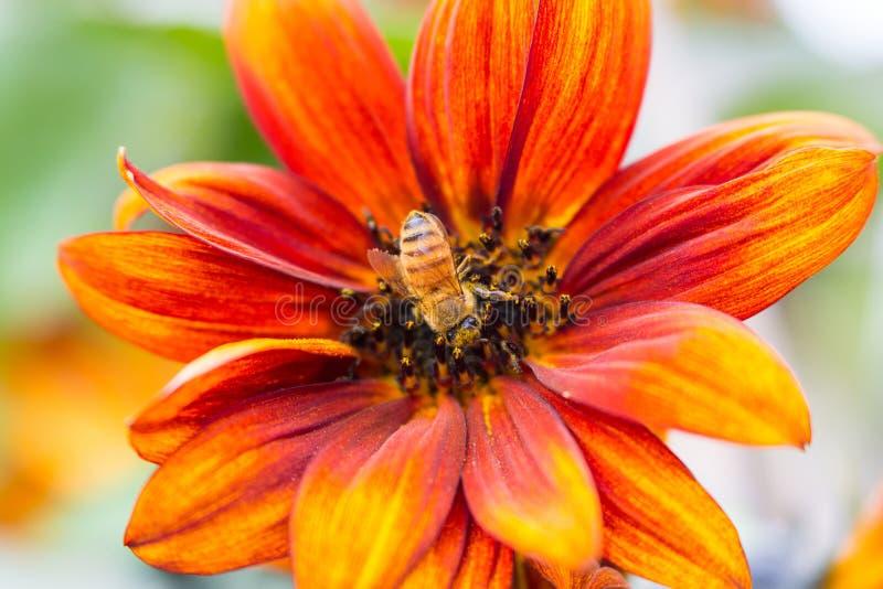 Zonnebloem met Honey Bee in het centrum en één of ander onduidelijk beeld stock foto's
