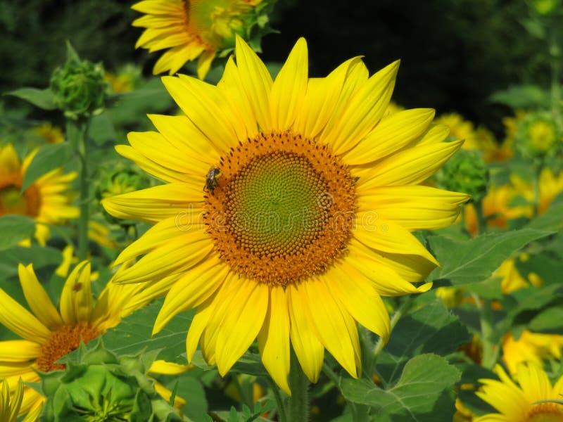 Zonnebloem met Kleine Bij stock afbeeldingen