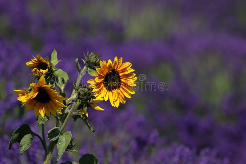 Zonnebloem met lavendelachtergrond royalty-vrije stock afbeelding