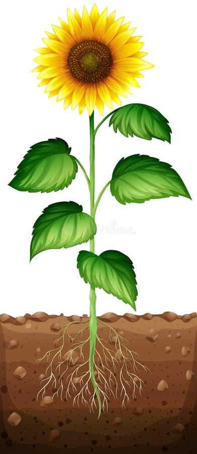 Zonnebloem met ondergrondse wortels stock illustratie