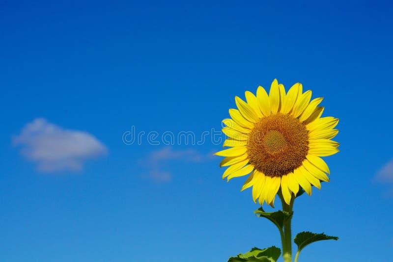 Zonnebloem met tegen blauwe hemel royalty-vrije stock foto's