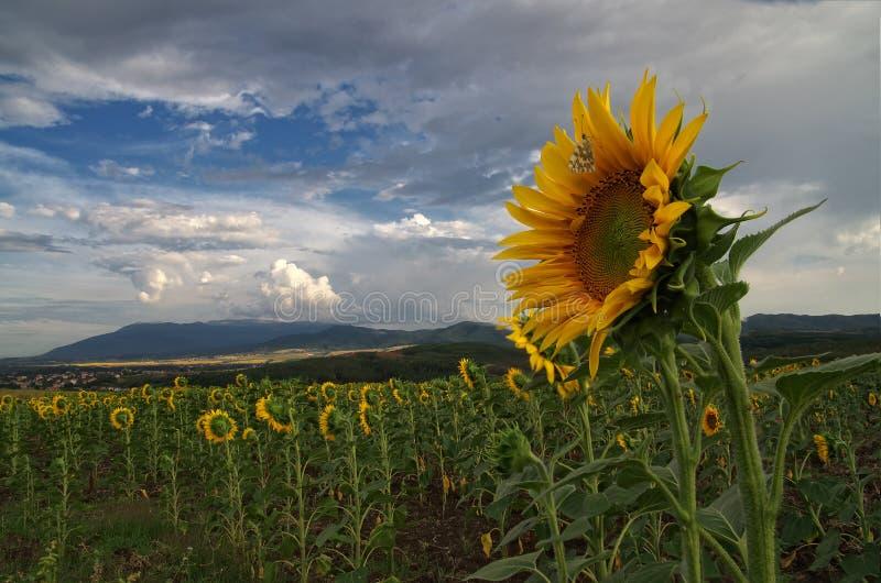 Zonnebloem met vlinder - de zomerbeeld royalty-vrije stock afbeelding