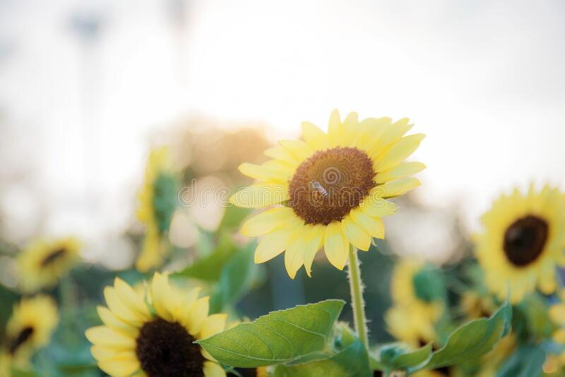 Zonnebloem met zonlicht stock fotografie