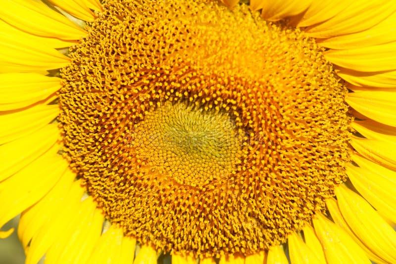 Zonnebloem natuurlijke achtergrond, Zonnebloem die, Close-up van su bloeien stock fotografie