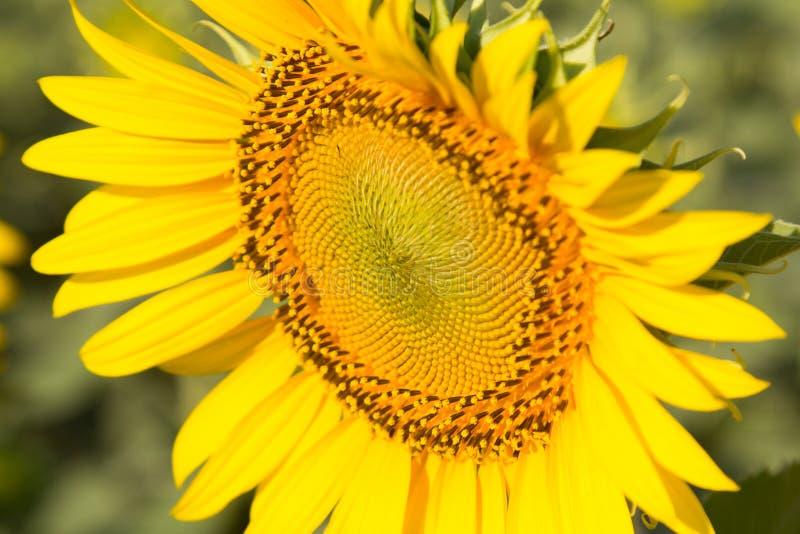 Zonnebloem natuurlijke achtergrond, Zonnebloem die, Close-up van su bloeien stock afbeelding