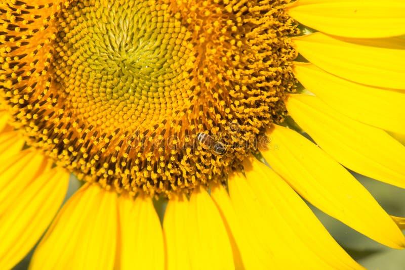 Zonnebloem natuurlijke achtergrond, Zonnebloem die, Close-up van su bloeien royalty-vrije stock foto's