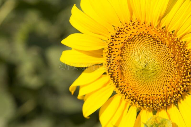 Zonnebloem natuurlijke achtergrond, Zonnebloem die, Close-up van su bloeien royalty-vrije stock fotografie