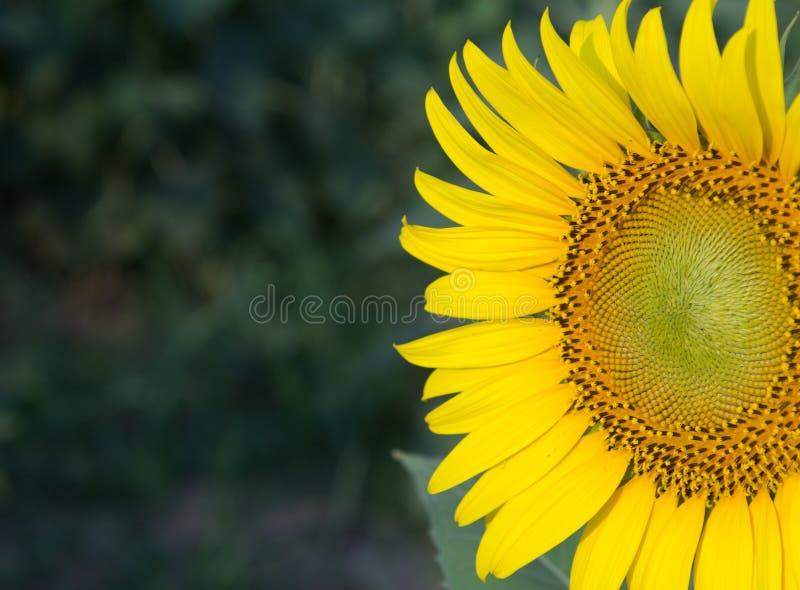Zonnebloem natuurlijke achtergrond, Zonnebloem die, Close-up van su bloeien stock foto