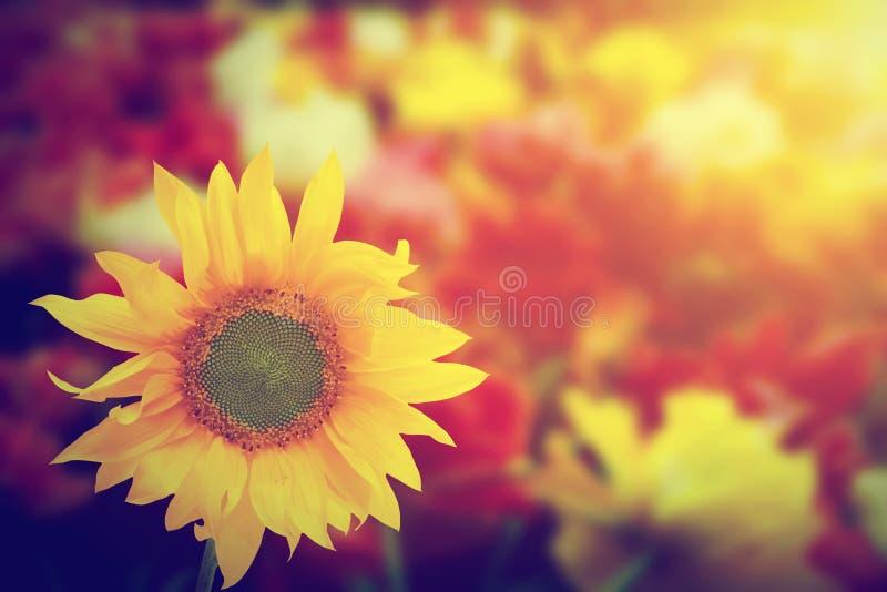 Zonnebloem onder andere bloemen van de de lentezomer bij zonneschijn royalty-vrije stock afbeeldingen