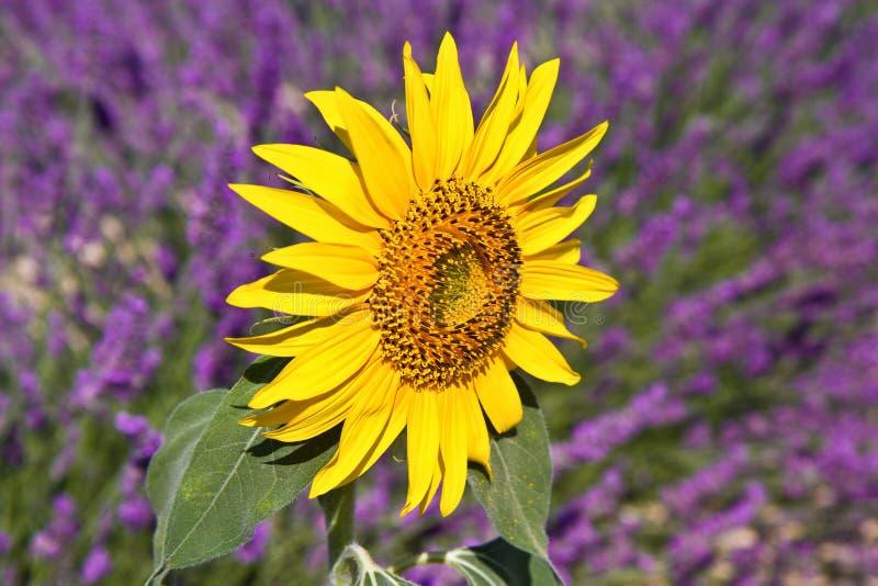 Zonnebloem op de bloeiende gebieden van een Lavendelbloem royalty-vrije stock fotografie
