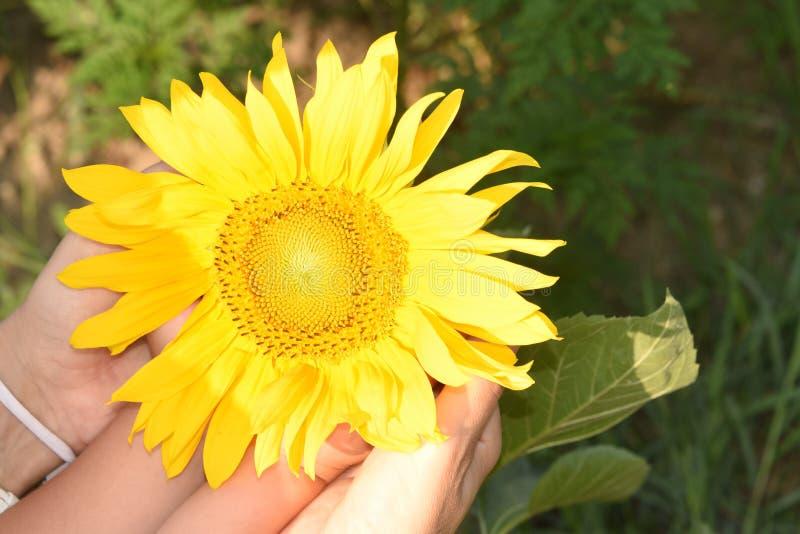 Zonnebloem op een de zomerdag royalty-vrije stock afbeelding