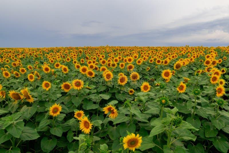 zonnebloem op een gebied van zonnebloemen onder een blauwe hemel stock foto's