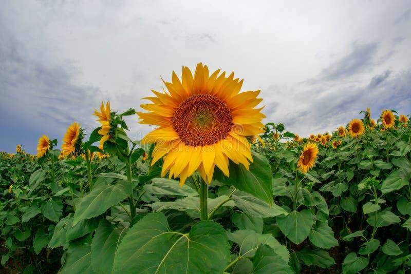 zonnebloem op een gebied van zonnebloemen onder een blauwe hemel royalty-vrije stock afbeelding