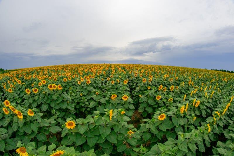 zonnebloem op een gebied van zonnebloemen onder een blauwe hemel stock fotografie