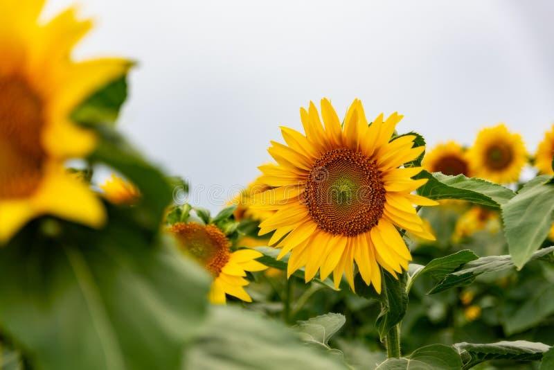 zonnebloem op een gebied van zonnebloemen onder een blauwe hemel royalty-vrije stock foto's