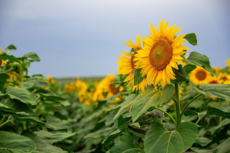 zonnebloem op een gebied van zonnebloemen onder een blauwe hemel stock afbeelding