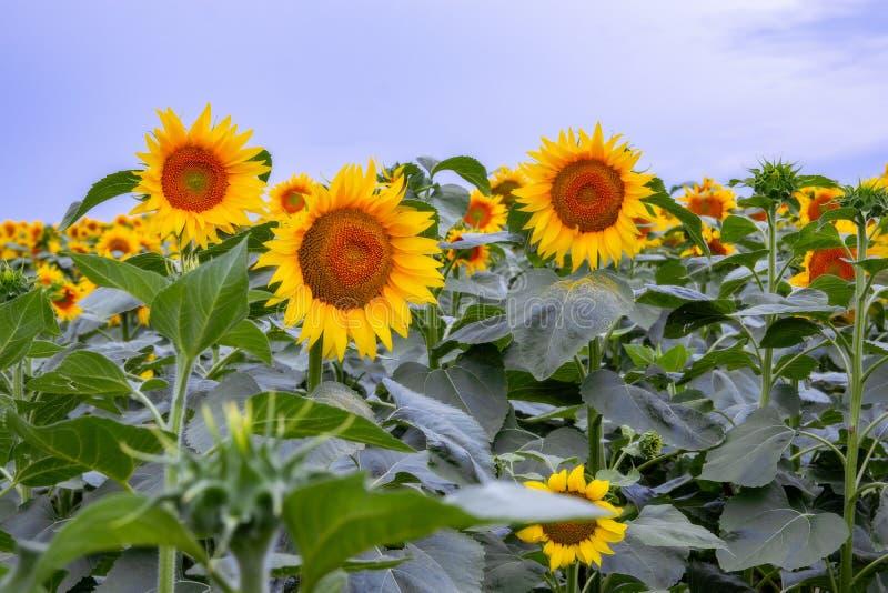 zonnebloem op een gebied van zonnebloemen onder een blauwe hemel stock foto