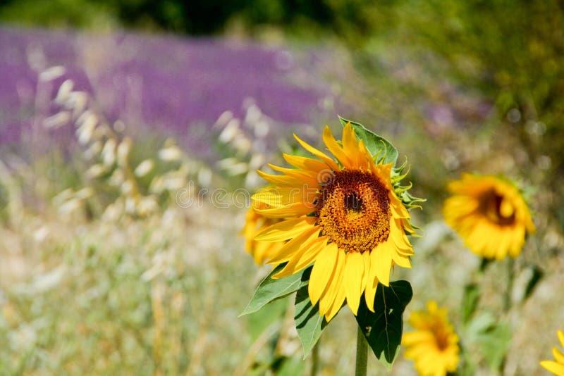 Zonnebloem op een lavendelgebied stock afbeelding