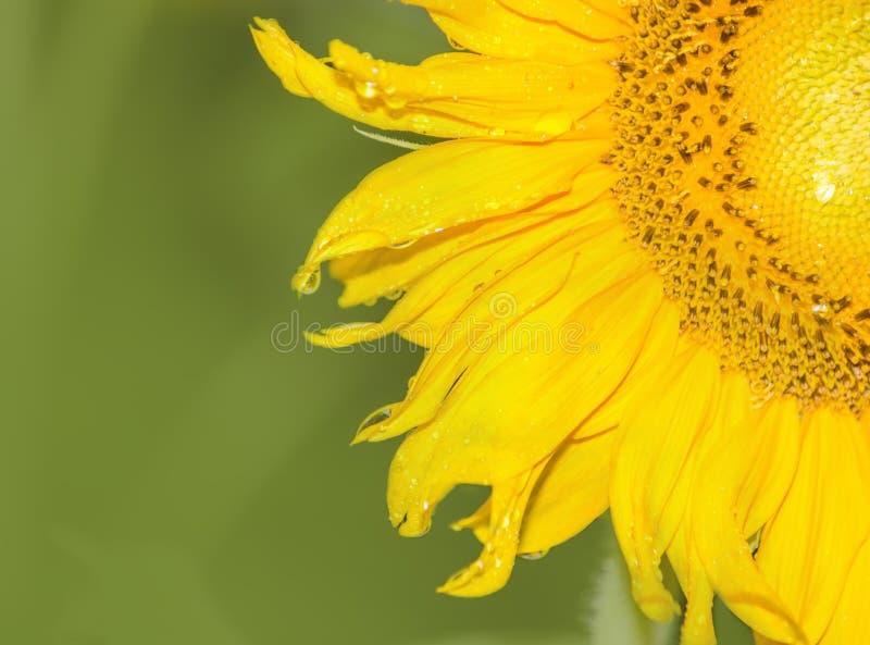 Zonnebloem op groene achtergrond stock fotografie