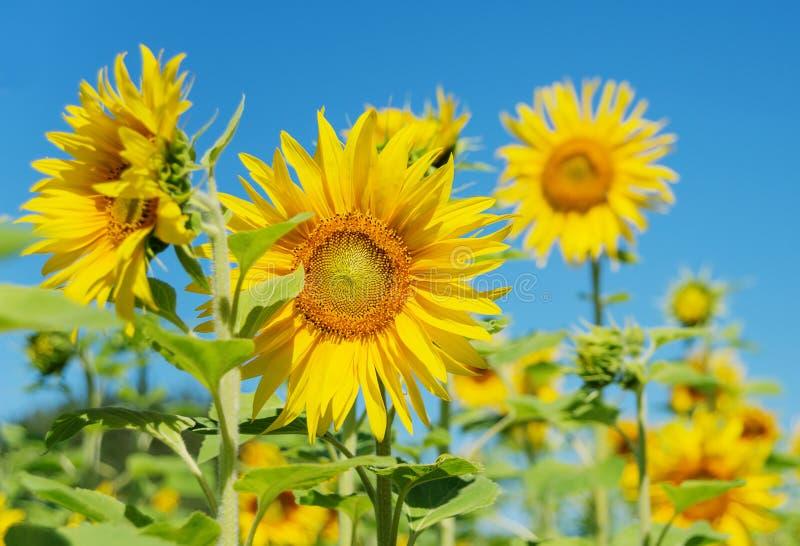 Zonnebloem tegen de blauwe hemel stock foto
