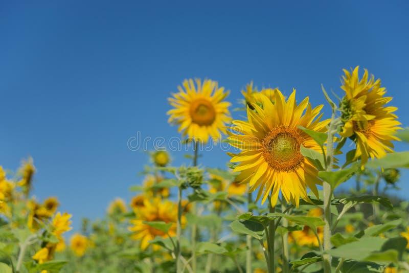 Zonnebloem tegen de blauwe hemel royalty-vrije stock fotografie