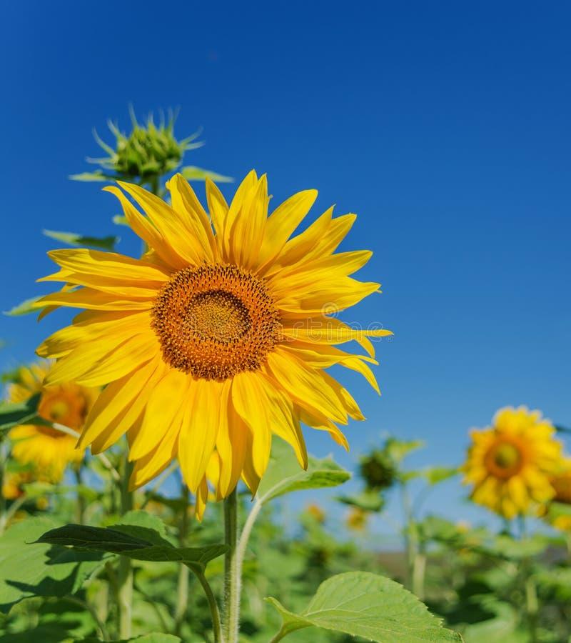 Zonnebloem tegen de blauwe hemel stock foto's