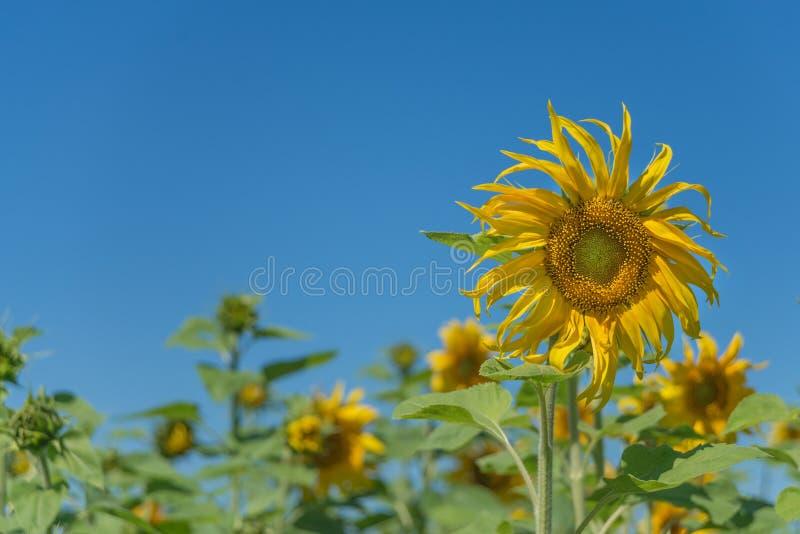 Zonnebloem tegen de blauwe hemel stock afbeelding
