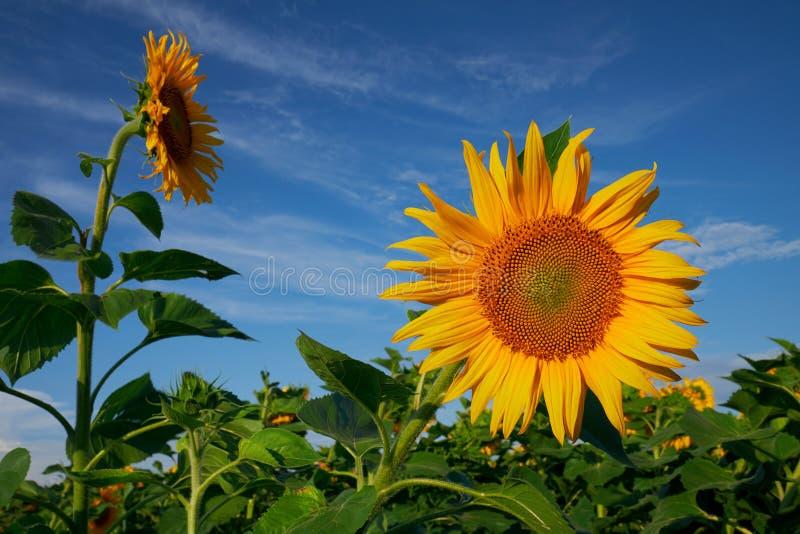 Zonnebloem tegen een blauwe hemel in de zomer royalty-vrije stock foto's