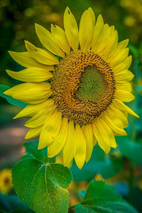 Zonnebloem in volledige bloei die op bestuivers wachten royalty-vrije stock foto's