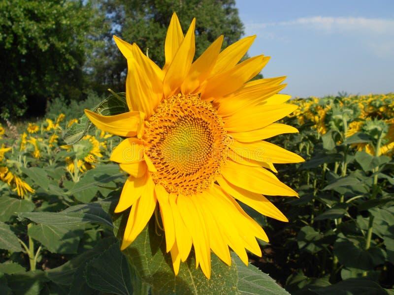 Zonnebloem voor de zon wordt geopend die royalty-vrije stock foto