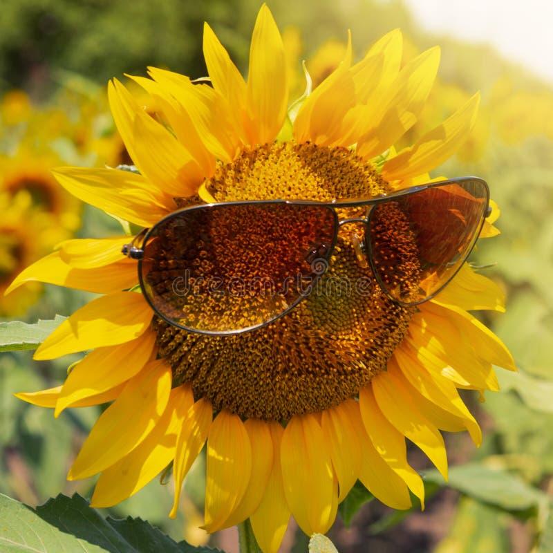 Zonnebloembloeiwijze in zonnebril, backlit close-up, concept het leven royalty-vrije stock foto's