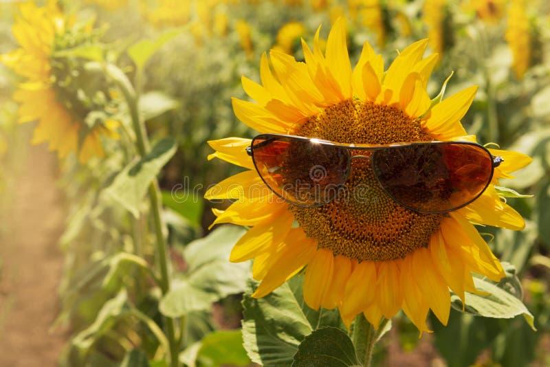 Zonnebloembloeiwijze in zonnebril, op landbouwgrond, de zomerconcept stock afbeeldingen