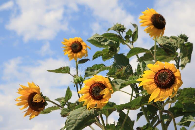 Zonnebloembloemen door de wind worden geblazen die royalty-vrije stock afbeelding