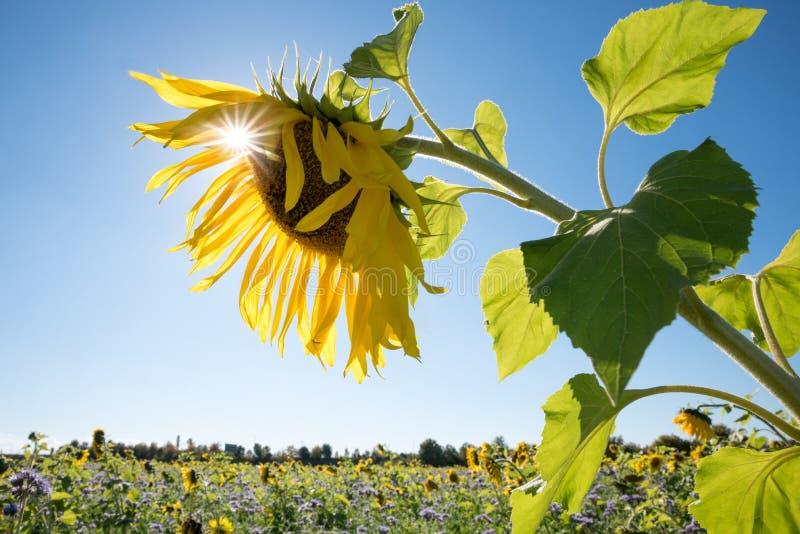 Zonnebloembloesem met heldere zon, onscherp gebied op de achtergrond stock fotografie