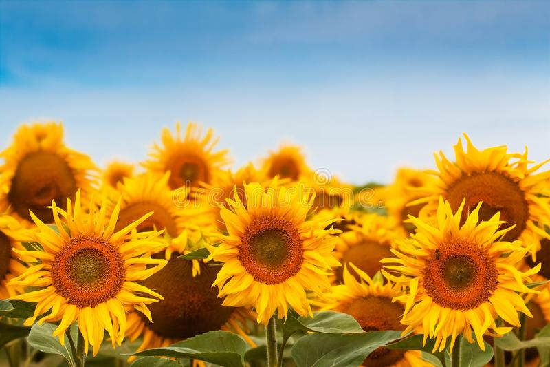 Zonnebloembloesem tegen diep blauwe duidelijke de zomerhemel, vreedzame en stille oogsttijd, de textuur van het de landbouwgebied stock afbeelding