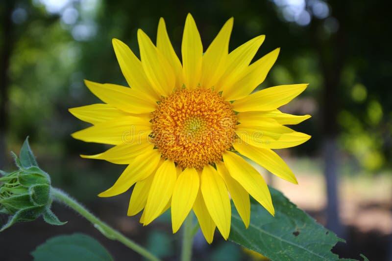 zonnebloemclose-up in de zomertijd stock foto