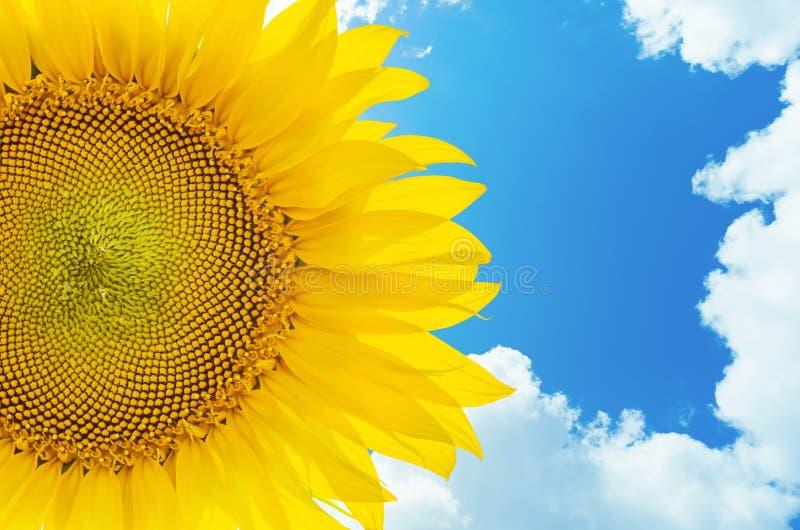Zonnebloemclose-up en blauwe hemel met wolken royalty-vrije stock foto's
