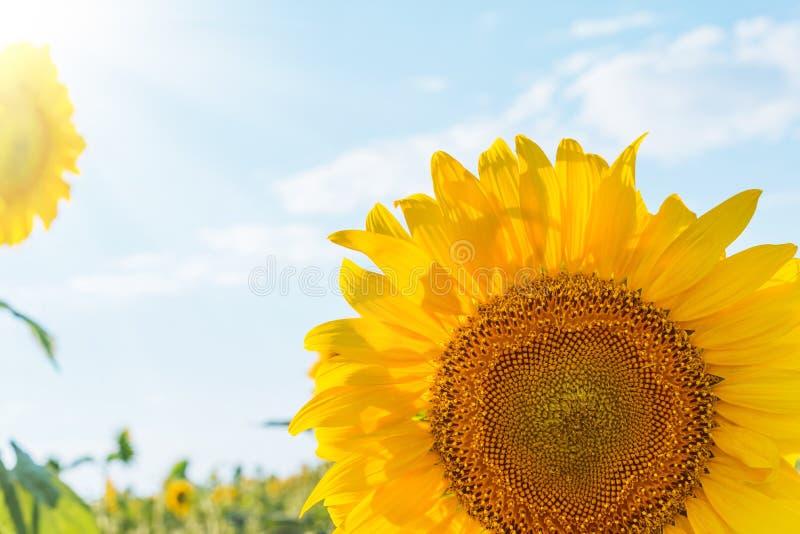 Zonnebloemclose-up in het gebied en de zon stock foto's