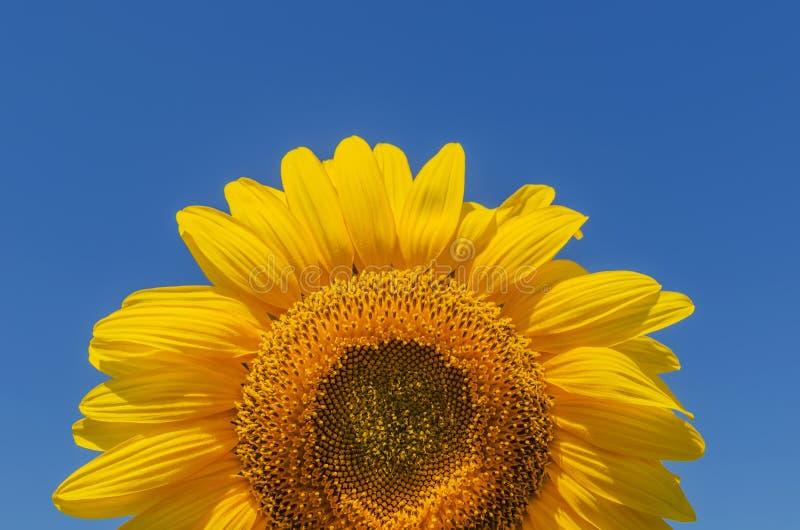 Zonnebloemclose-up op blauwe hemelachtergrond royalty-vrije stock foto's