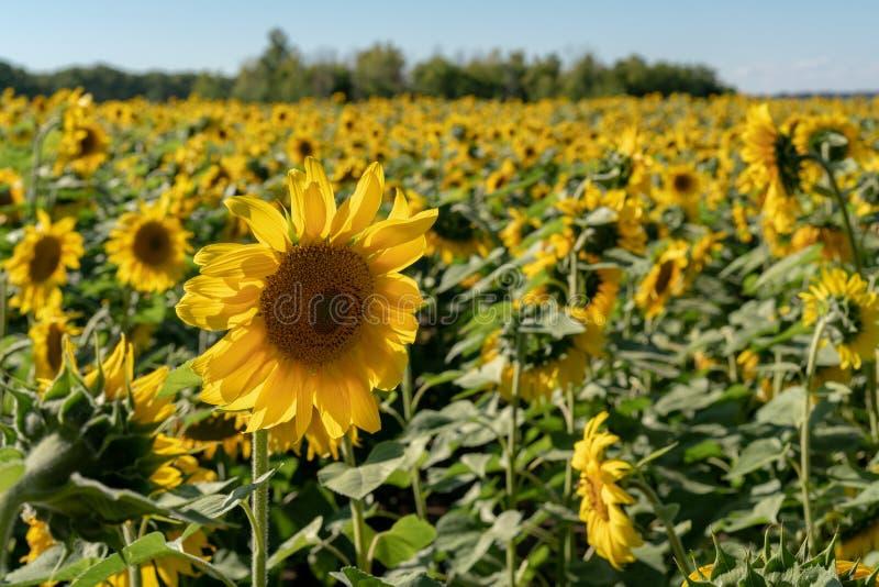 Zonnebloemclose-up tegen de achtergrond van een gebied van zonnebloemen onder een blauwe hemel royalty-vrije stock afbeelding
