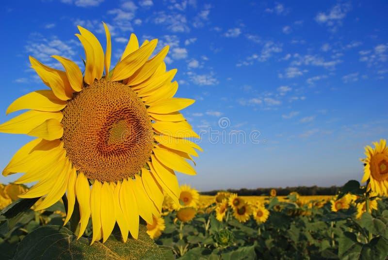 Download Zonnebloemen stock foto. Afbeelding bestaande uit hemel - 10780002
