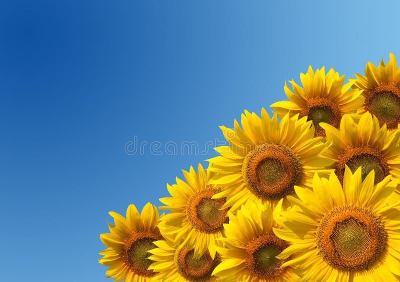 Zonnebloemen stock foto's